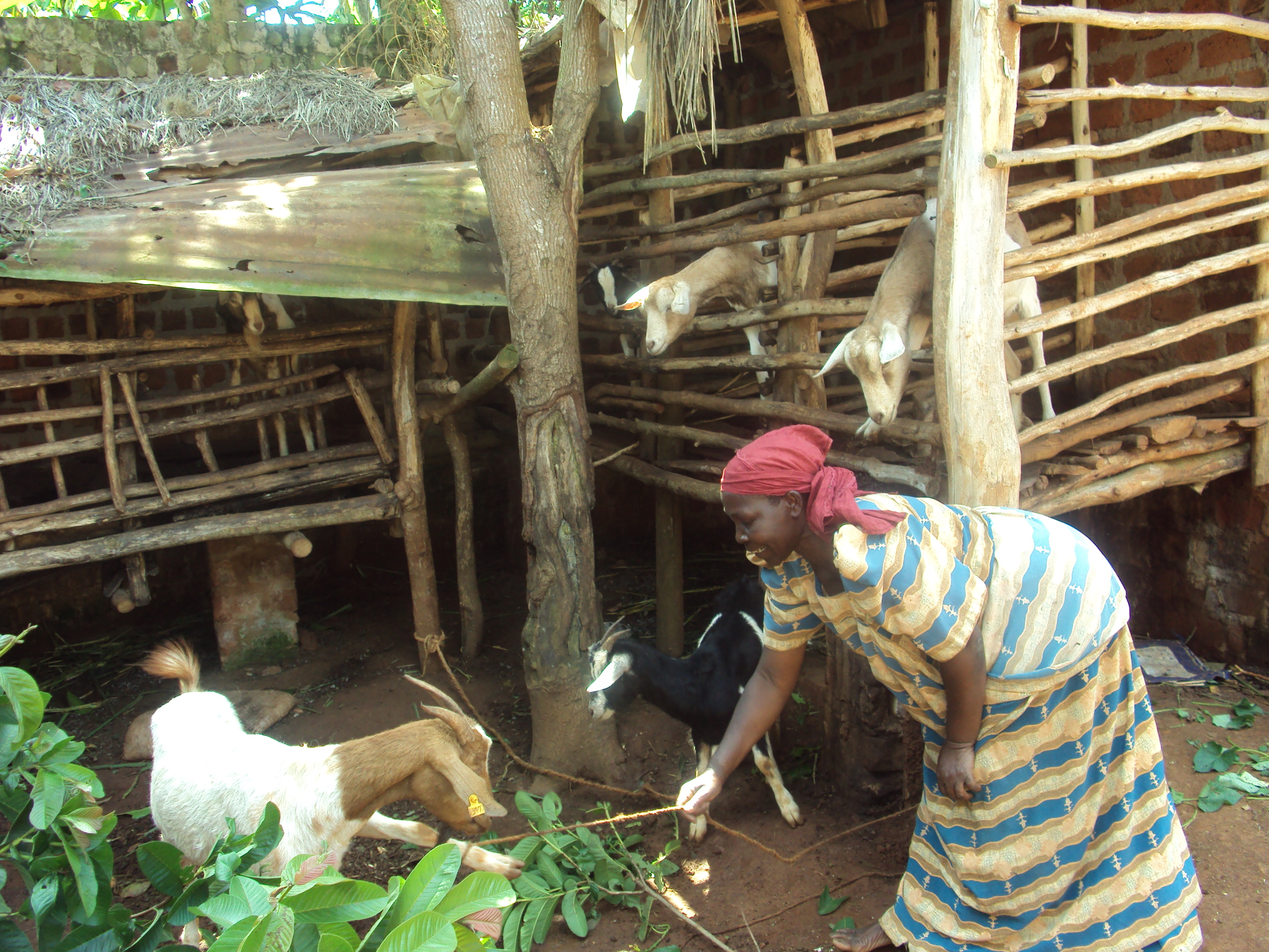 Margaret, a farmers from Luweero District supported by CESA-Uganda in one of her diary goat income business